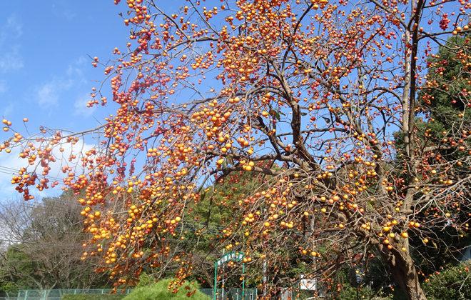 珍しい柿木